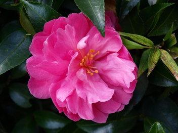 Hakone_flower_2