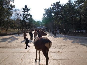 Deer_at_todaiji_2