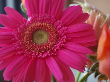 African_daisy